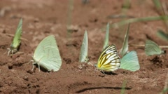 Pieridae butterflies drinking mineral from sand - stock footage