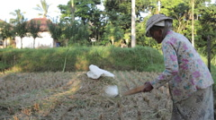 Older Indonesian woman sifting rice with a net in the field during harvest  Stock Footage