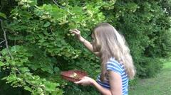 Woman hands pick linden herbal flowers to wooden wicker dish. 4K Stock Footage