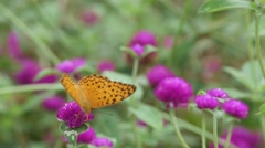 butterfly drinking nectar from Bachalor's Button flower - stock footage