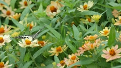 Swallowtail butterfly drinking nectar from flower Stock Footage
