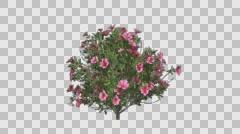 Azalea Flowers Pink Plant Growing Animation - stock footage