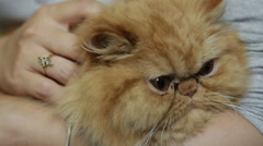 Woman cuddles and snuggles a yellow persian kitten Stock Footage