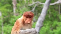 Proboscis Monkey eats fruit, close up view Stock Footage