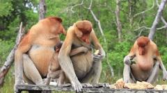 Proboscis Monkeys Stock Footage