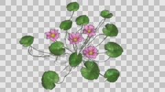 Lotus Flower Plant Growth Animation Stock Footage