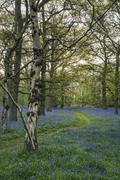 Stunning landscape image of bluebell forest in Spring - stock photo