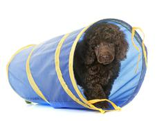Puppy brown poodle in agility Stock Photos