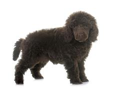 puppy brown poodle - stock photo