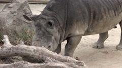 Southern White Rhinoceros (Ceratotherium simum simum) Stock Footage