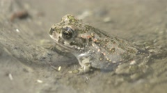 Young frog sitting in a warm and muddy water, macro, 4k Stock Footage