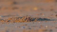 Sunrise light sand crab close up hd phuket thailand Stock Footage