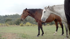 Side video of white and brown horses outdoor  gimbal steadicam Stock Footage