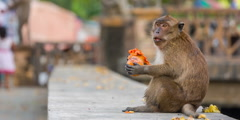 Little monkey eating papaya on the street hd phuket town thailand Stock Footage