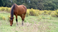 Brown horse pasture outdoor  gimbal steadicam Stock Footage