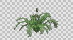 Boston Fern Plant Growth Animation Stock Footage