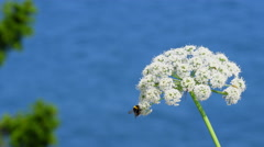 Cow Parsley, Anthriscus sylvestris with the ocean in the Background Stock Footage