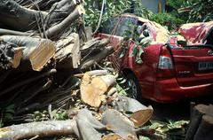 Rubber tree fell on red car - stock photo