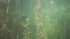 Crucian carp swim about algae in lake.mp4 Stock Footage
