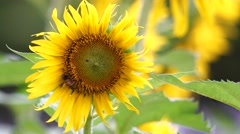 Sunflower with bee Stock Footage