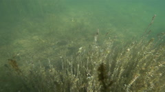 A flock of crucian carp swim about algae in lake Stock Footage
