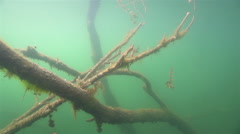 Underwater tree overgrown with moss and algae Stock Footage