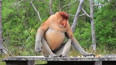 Male Proboscis Monkey eating fruit Stock Footage
