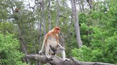 Female Proboscis Monkey Stock Footage