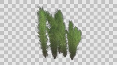 Tumble Grass Plant Growing Animation with Alpha Channel - stock footage