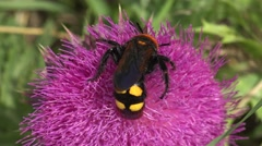 Large wasp, insect, hornet collecting nectar on thistle Onopordum flowers - stock footage