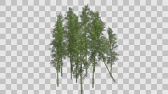Bamboo Cluster Tree Groth Animation with Alpha Channel Stock Footage