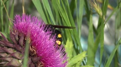 Large wasp, insect, hornet collecting nectar on thistle Onopordum flowers Stock Footage