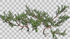 Greenleaf Manzanita Growing Plant Animation with Alpha Channel Stock Footage