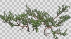 Greenleaf Manzanita Growing Plant Animation with Alpha Channel - stock footage