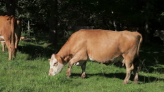 Brown and white cow grazing in pasture. Stock Footage
