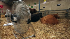HIGHLAND CATTLE KEPT COOL THE GREAT YORKSHIRE SHOW Stock Footage