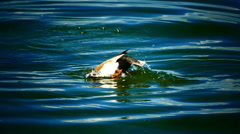 Red-crested pochard couple water bird morning swimming diving for sea weed - stock footage