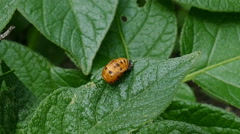 Larva of the Colorado Potato Beetle on a Potato Leaf Stock Footage