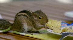 CHIPMUNK EATS BREAKFAST DAMBULLA SRI LANKA Stock Footage