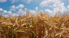 Cultivated triticale field Stock Footage