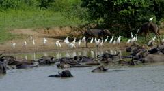 WATER BUFFALO EGRETS UDAWALAWE PARK SRI LANKA Stock Footage