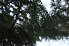 Winter Evergreen Tree Stock Photos