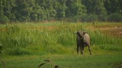 Vietnamese bull 2 Stock Footage