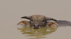 Vietnamese bull in the water Stock Footage