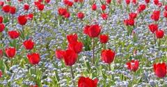Red Tulip Garden In Springtime - stock footage