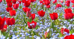 Red Tulip Garden In Springtime - stock footage