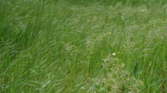 Green rich spring grass swaying in the wind. - stock footage