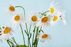 Beautiful daisies bouquet at blue background - stock photo
