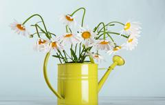 Beautiful daisies bouquet in green watering can - stock photo