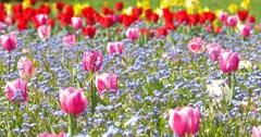 Pink Tulip Garden In Springtime Stock Footage